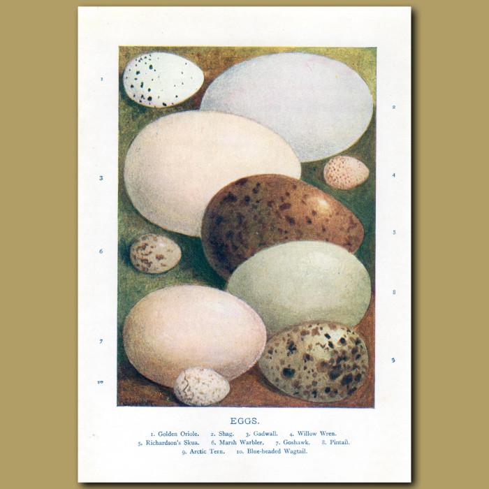 Eggs – Golden Oriole, Shag, Gadwall, Willow Wren: Genuine antique print for sale.