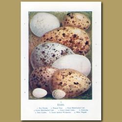 Eggs – Hen Harrier, Roseate Tern, Great Black-backed Gull