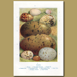 Eggs – Hoopoe, Red-necked Phalarope, Crested Tit