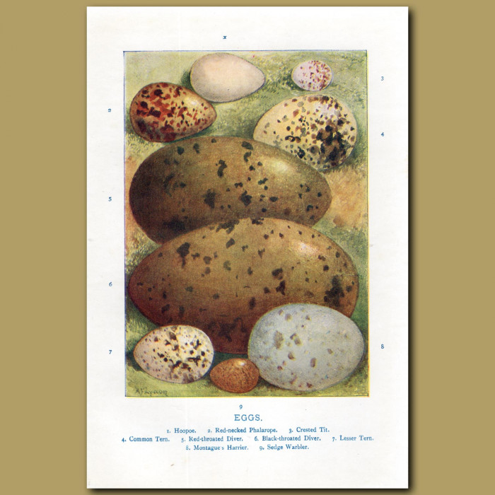 Eggs – Hoopoe, Red-necked Phalarope, Crested Tit: Genuine antique print for sale.
