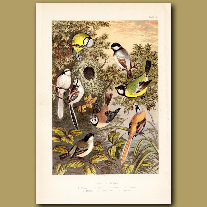 Antique print. Tits or Titmice