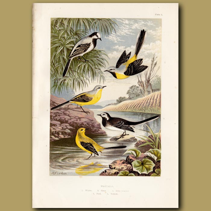 Antique print. Wagtails