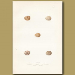 Pipit Eggs