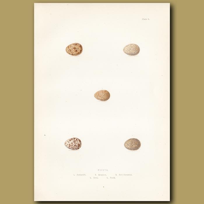 Antique print. Pipit eggs
