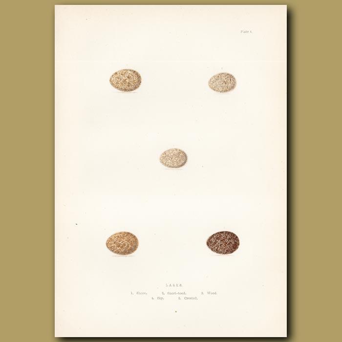 Antique print. Lark eggs