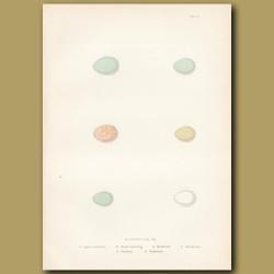 Accentor Eggs