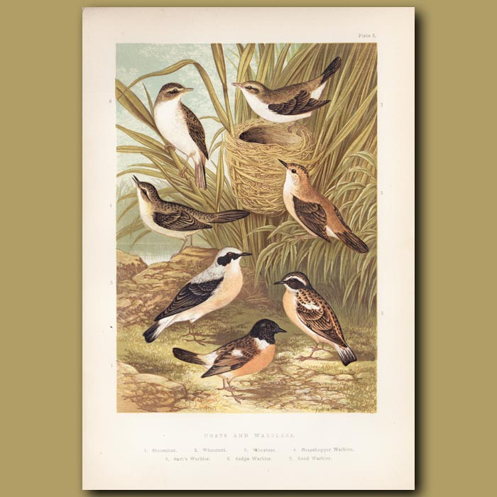 Antique print. Chats and Warblers