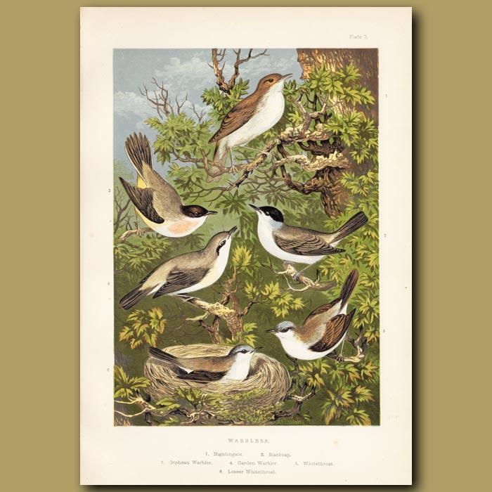 Antique print. Warblers