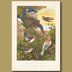 Flycatchers, Swallow And Bee-Eater