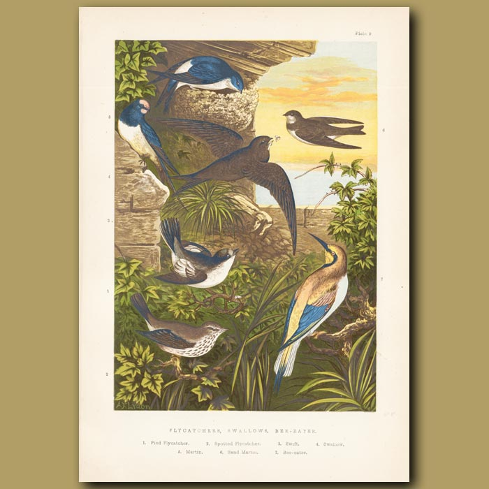 Antique print. Flycatchers, Swallow and Bee-eater