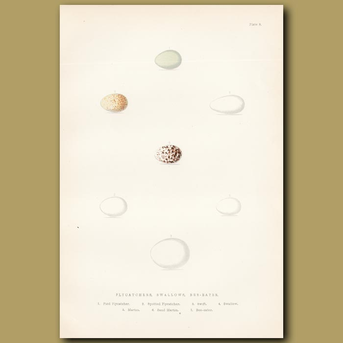 Antique print. Flycatcher, Swallow and Bee-eater eggs