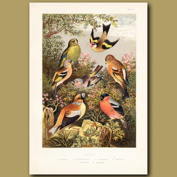 Antique print. Finches