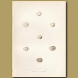 Finch Eggs