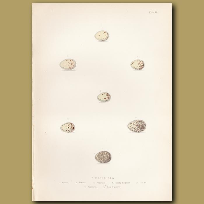 Antique print. Finch eggs