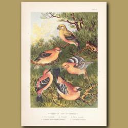 Grossbeak And Crossbills