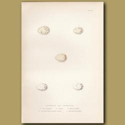 Grossbeak And Crossbill Eggs