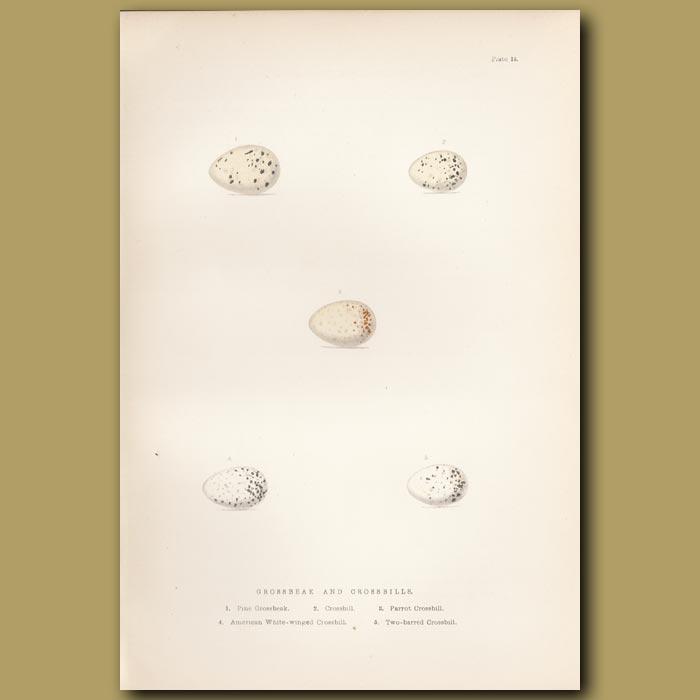 Antique print. Grossbeak and Crossbill eggs