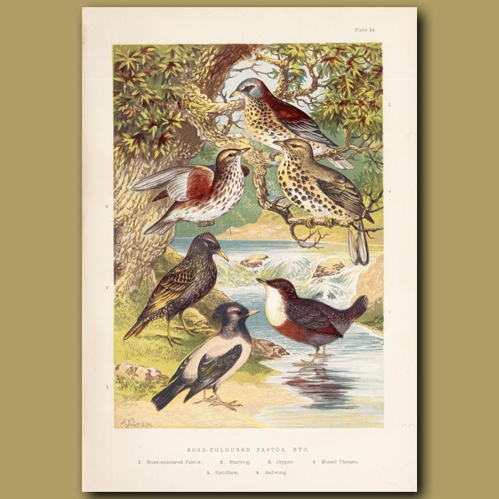Antique print. Rose-coloured Pastor, Starling, Dipper, Missel Thrush