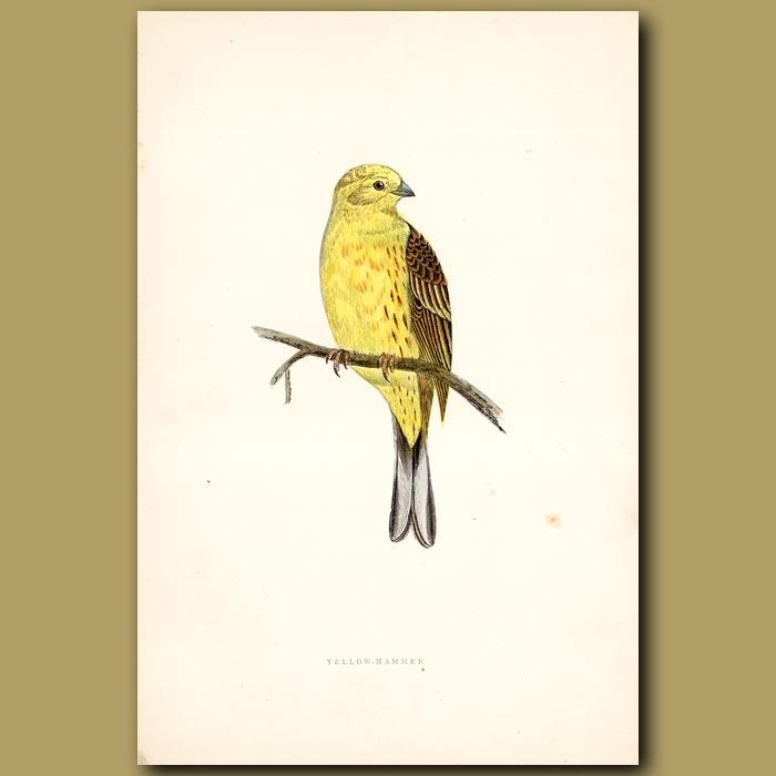 Yellow-Hammer