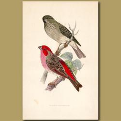 Scarlet Bullfinch