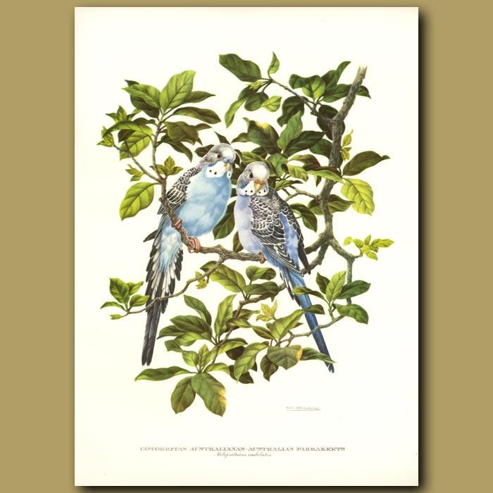 Antique print. Australian Parrakeets or Budgerigar