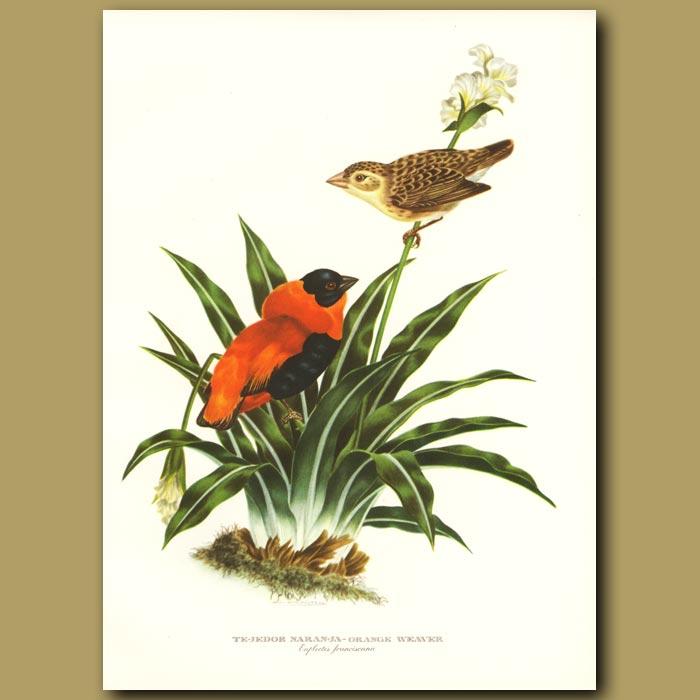 Antique print. Orange Weaver or Orange Bishop