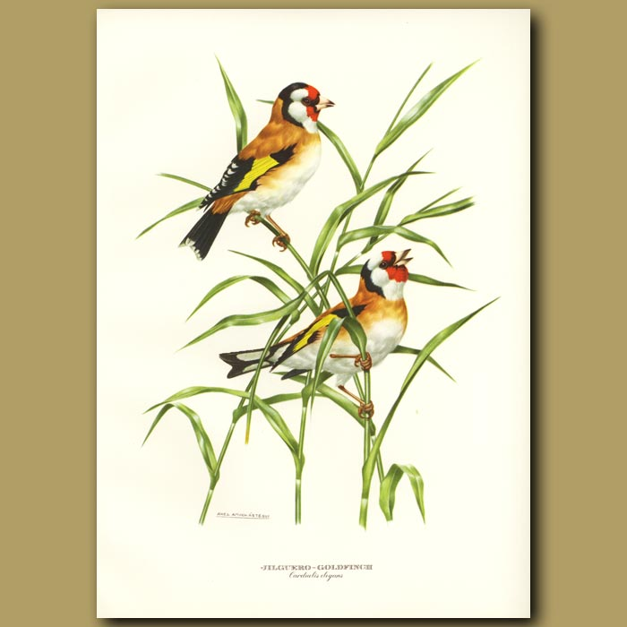 Antique print. Goldfinch