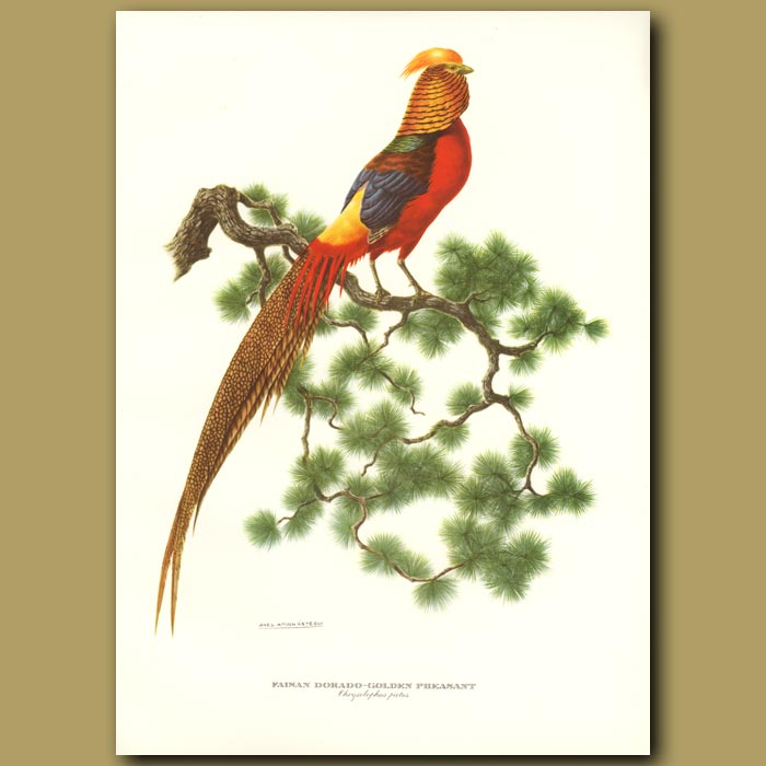 Antique print. Golden Pheasant or Chinese Pheasant