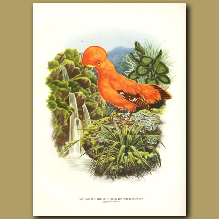 Antique print. Cock of the Rocks