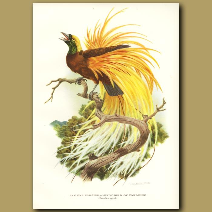 Antique print. Great Bird of Paradise