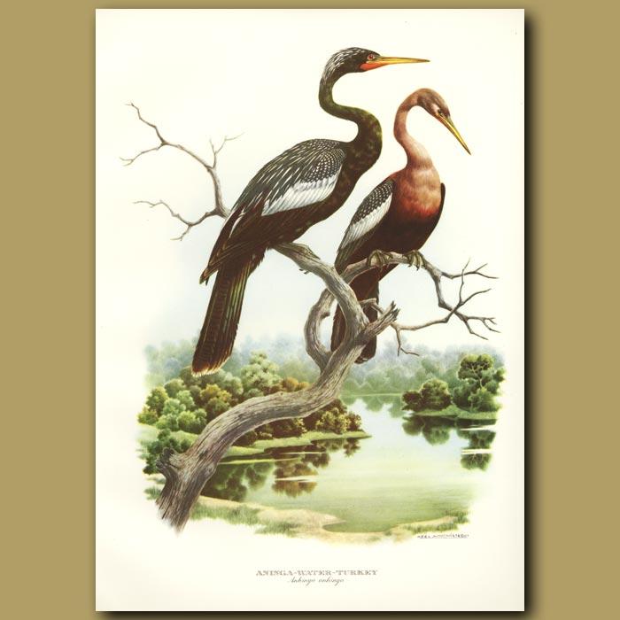 Antique print. Water Turkey or Snakebird