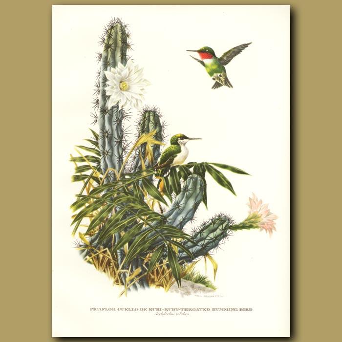 Antique print. Ruby-throated Hummingbird