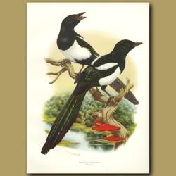 Magpie Or European Magpie