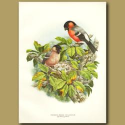 Royal Bullfinch