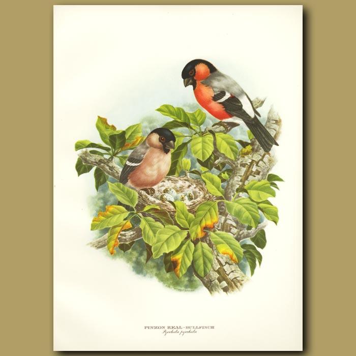 Antique print. Royal Bullfinch