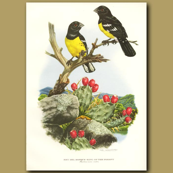Antique print. King of the Forest or Little Golden Bill
