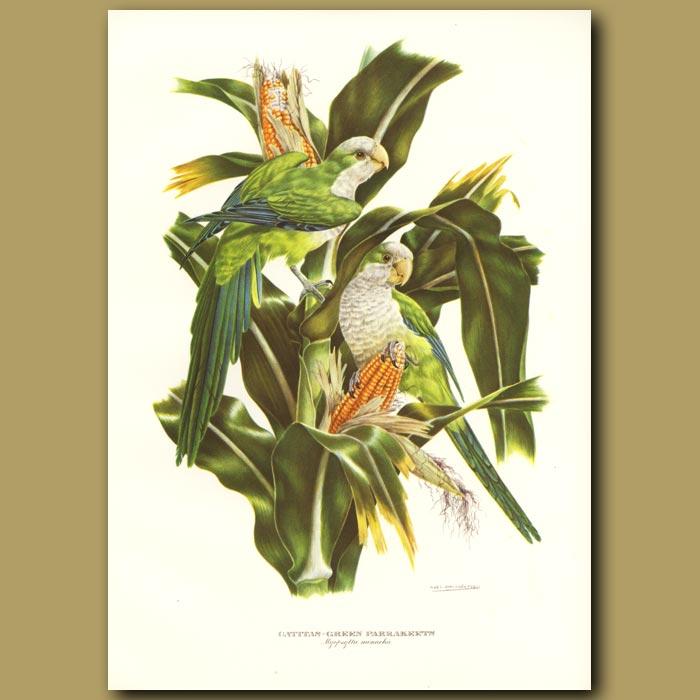 Antique print. Green Parrakeets or Quaker Parrakeets