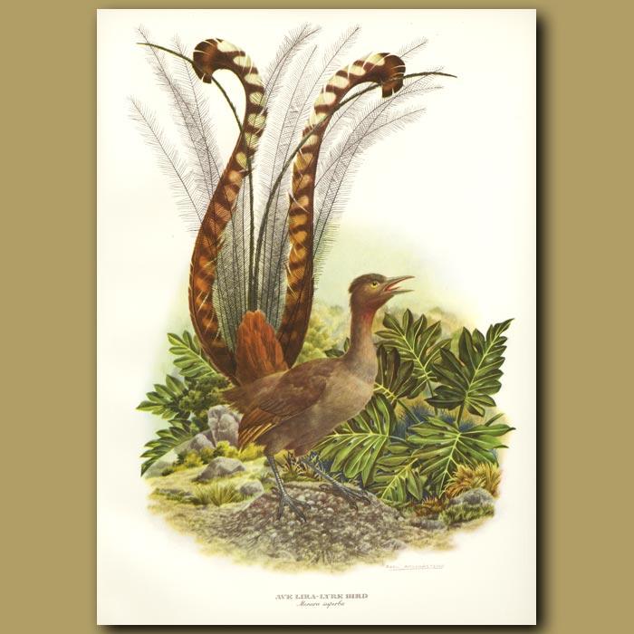 Antique print. Lyre Bird