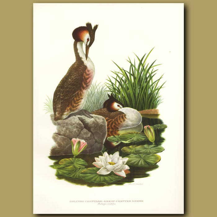 Antique print. Great-crested Grebe