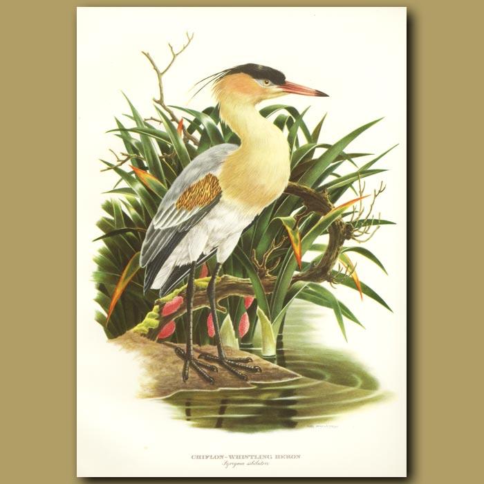 Antique print. Whistling Heron