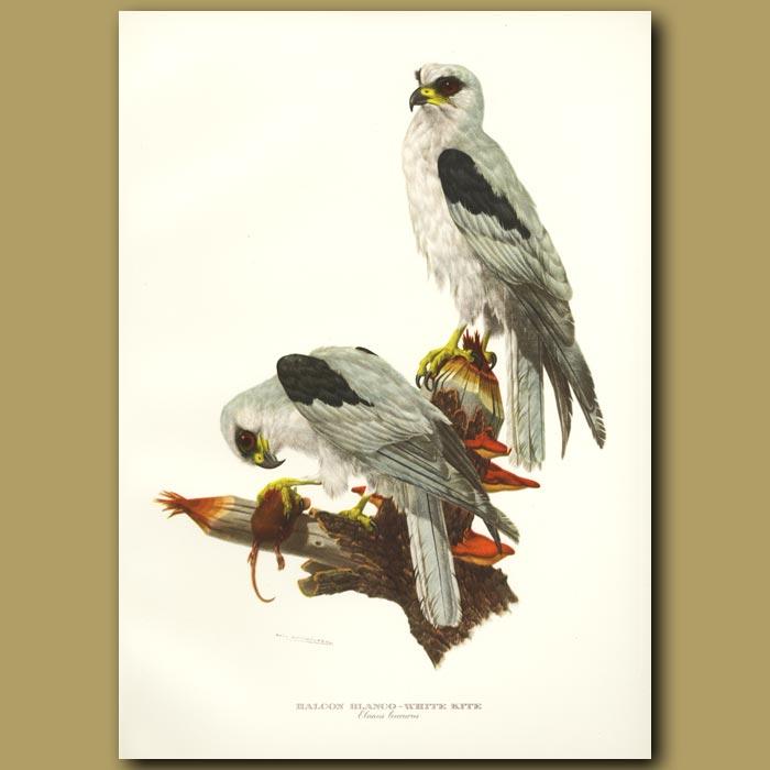 Antique print. White Kite