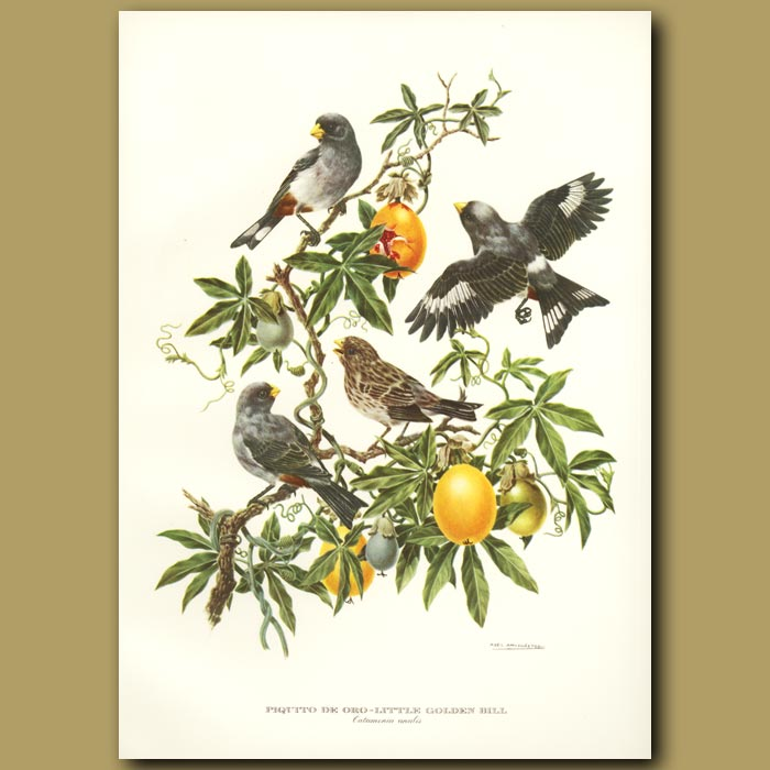 Antique print. Little Golden Bill or Band-tailed Seedeater