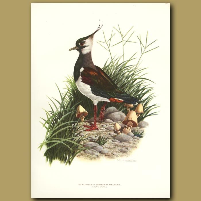 Antique print. Crested Plover