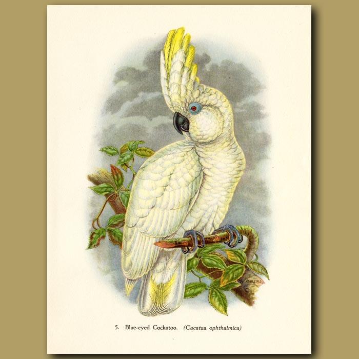 Vintage print. Blue-eyed Cockatoo