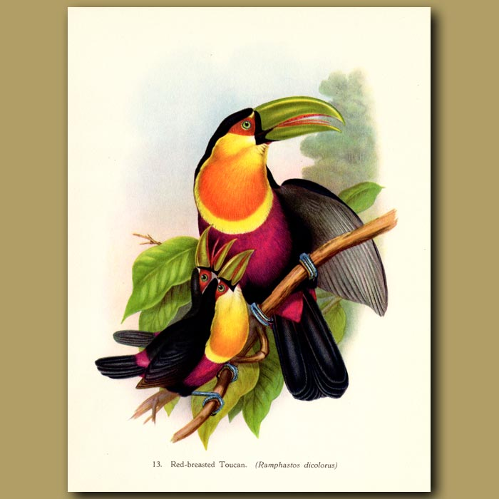 Vintage print. Red-breasted Toucan