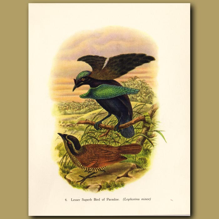 Vintage print. Lesser Superb Bird of Paradise