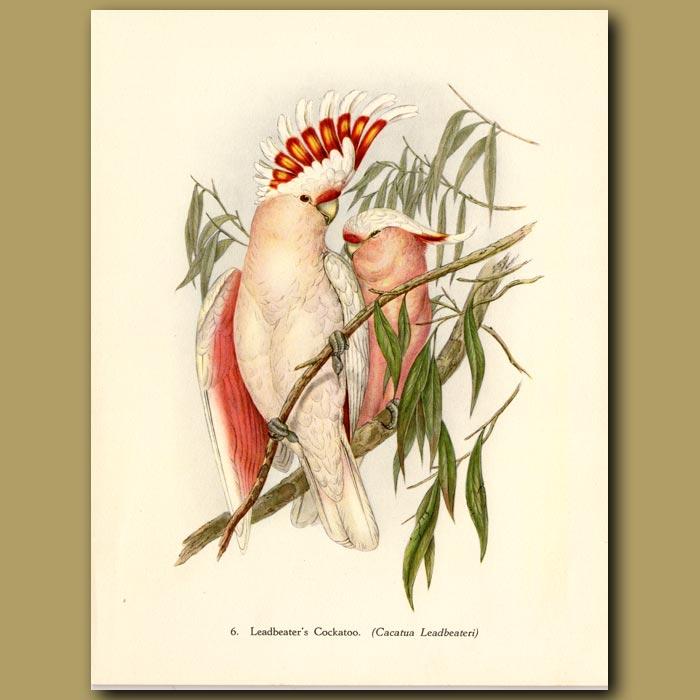 Vintage print. Leadbeater's Cockatoo