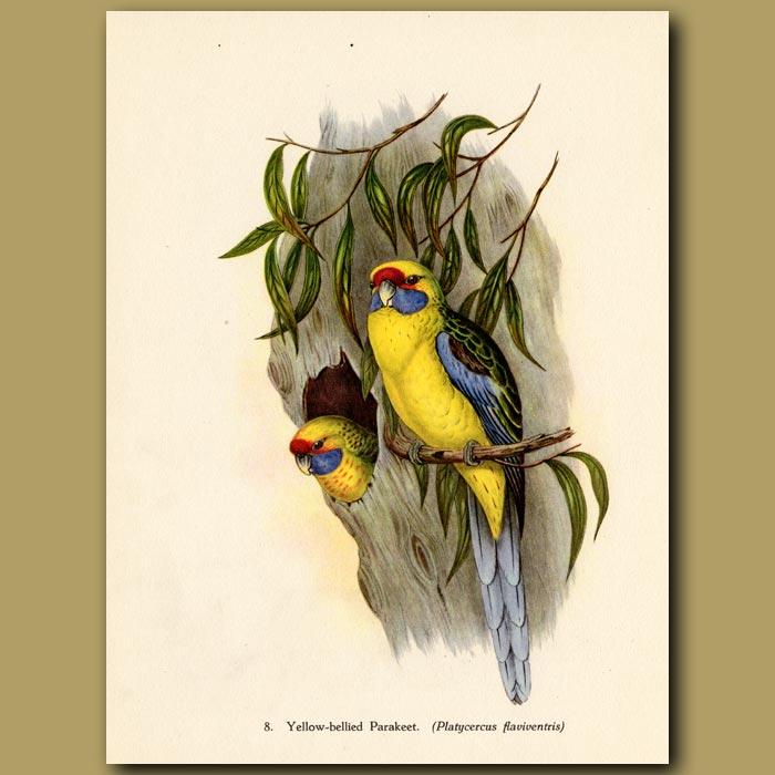 Vintage print. Yellow-bellied Parakeet