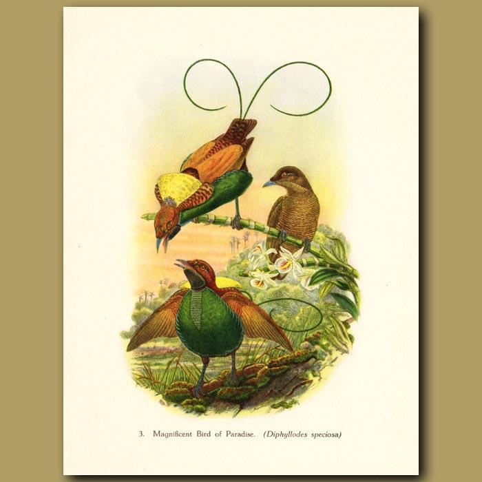 Vintage print. Magnificent Bird of Paradise