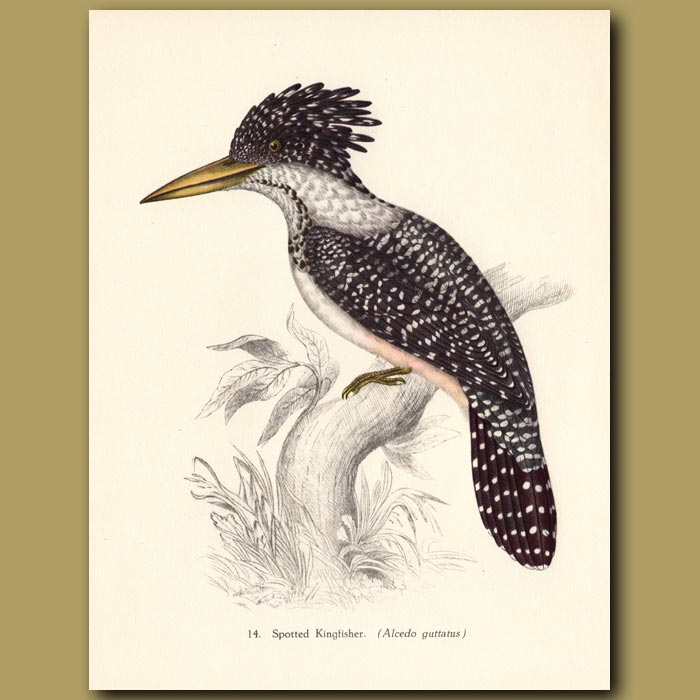 Vintage print. Spotted Kingfisher